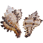 Shell Decoration, Trumpet Shell, 46-88mm, Sold By PC